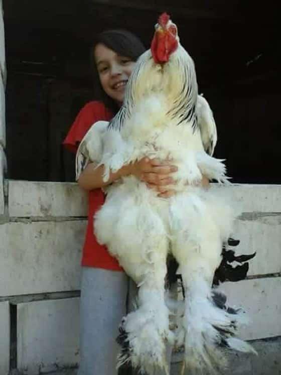 Chester é frango
